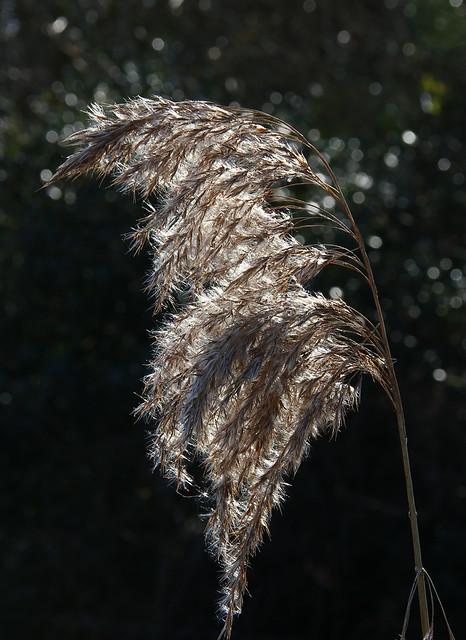 reed seedhead