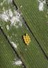 Lady bug eggs