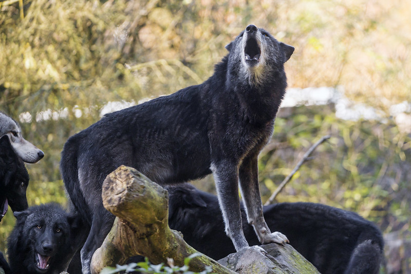 Howling black wolf