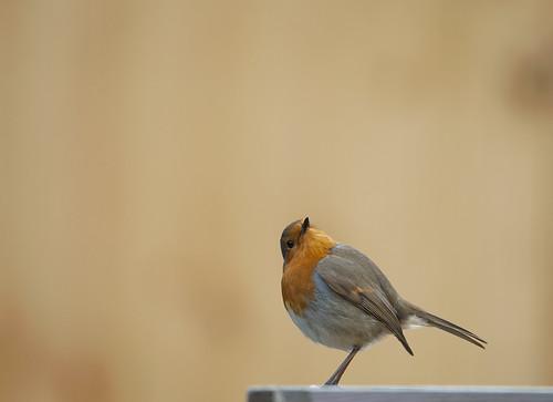 clear robin
