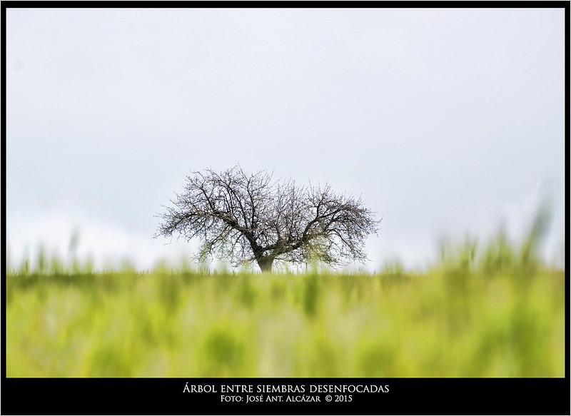 Árbol entre siembras desenfocadas _IGP0017_1