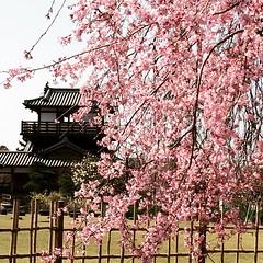 earlier🌸🏯 #ikeda #castleruins #osaka #sakura #latergram #池田城跡公園 #桜 #大阪