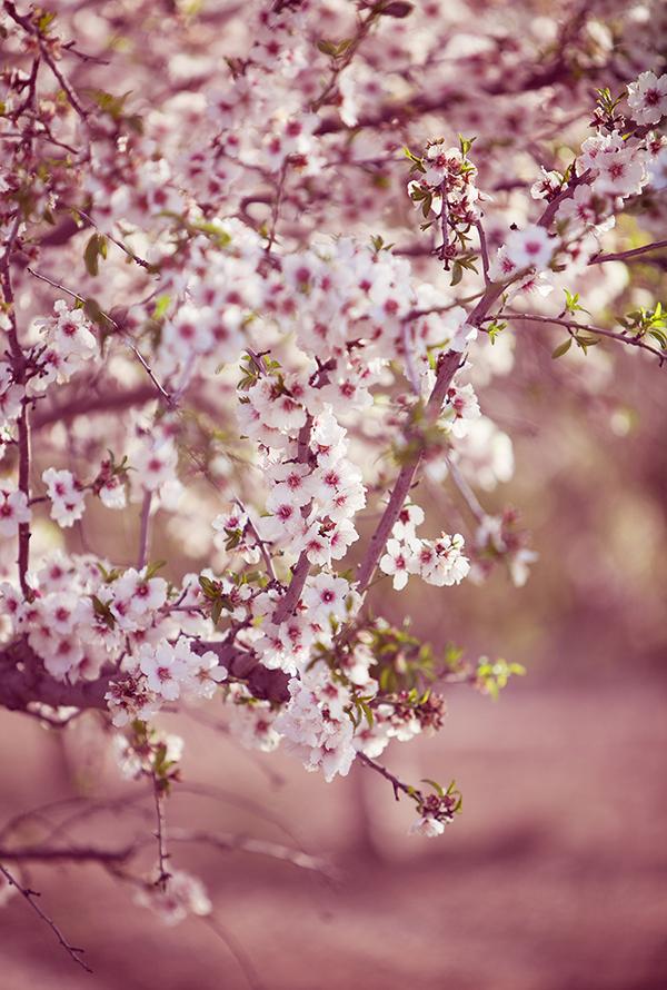 almond_blossom6