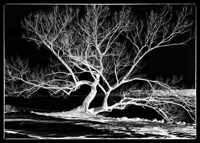 IMG_4030 Tree for Cyanotype 5x7 Negative