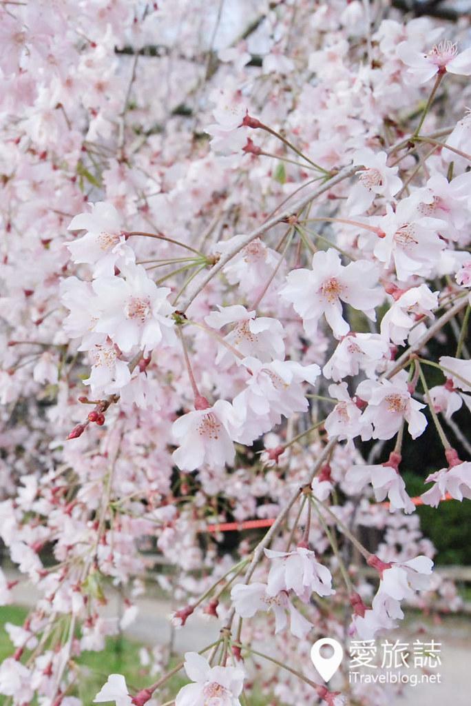 京都赏樱景点 半木之道 06
