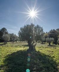 Olive Plantage in the Provence in November