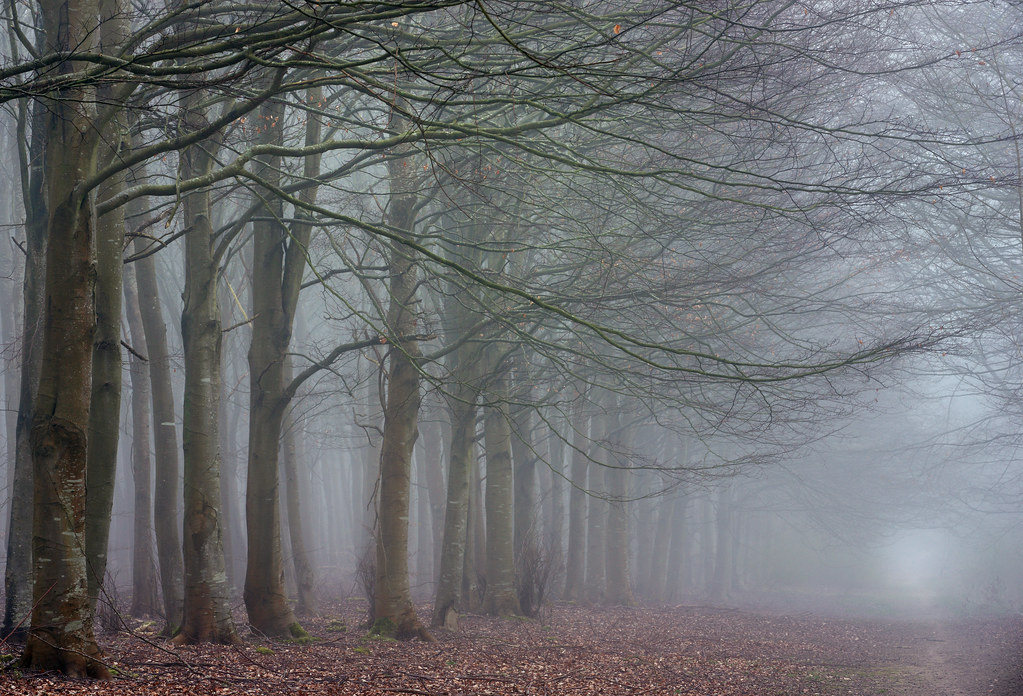Rows of beech trees in the fog, Friston Forest