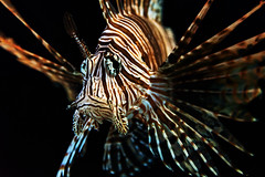Red Lionfish 01_05_15