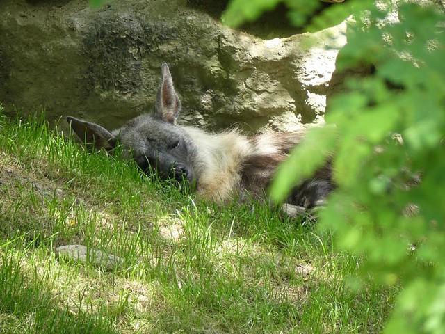 Braune Hyäne, Opel-Zoo