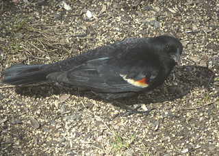 Male Red-winged Blackbird looking at me taken with a Canon SX700 HS on March 26, 2015 IMG_3846