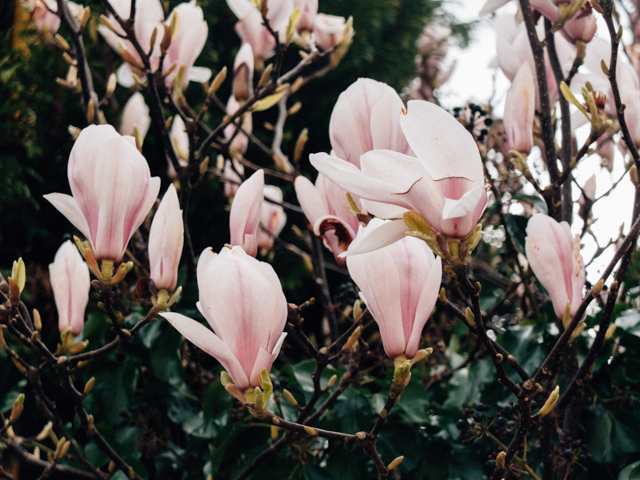 magnolia flowers on tree