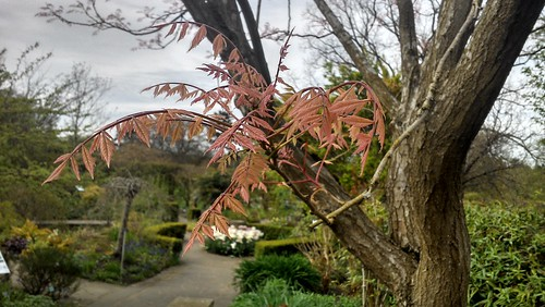 Wispy branch of Koelreuteria paniculata