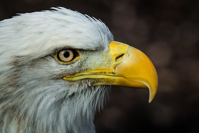 American Bald Eagle - Profile