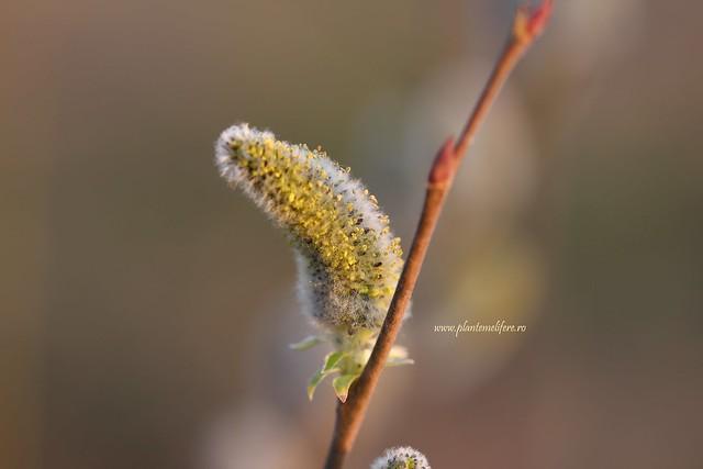 Zalog|Salix Cinerea