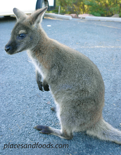 tasmania baby wallaby