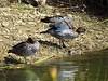 Maned Ducks (1)