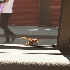 That thing was standing next to me on the car's window. I did not scream #EgyptianSpring #Egypt #Blogger #Insects #hornet