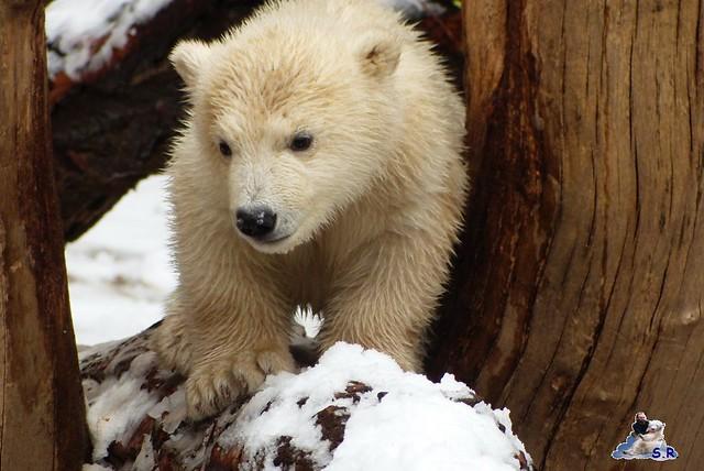 Eisbär Taufe Fiete Zoo Rostock 31.03.21015 48
