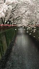 Sakura Slowmo