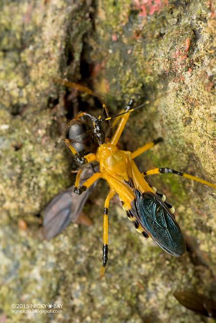 Assassin bug (Reduviidae) - DSC_3444