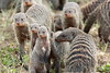 Pack of banded mongoose