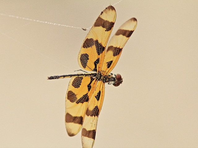 Halloween Pennant hanging by a thread 20150325