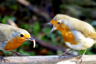Young Robin being fed
