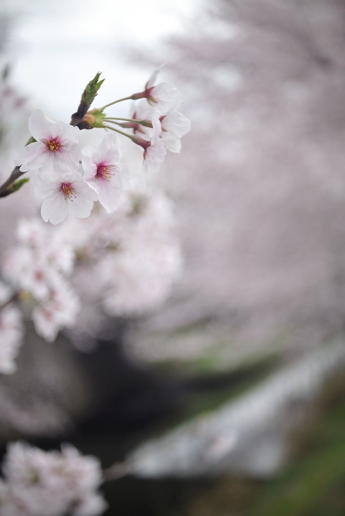 Cherry blossoms along the Horikawa river 2015/04 No.1.