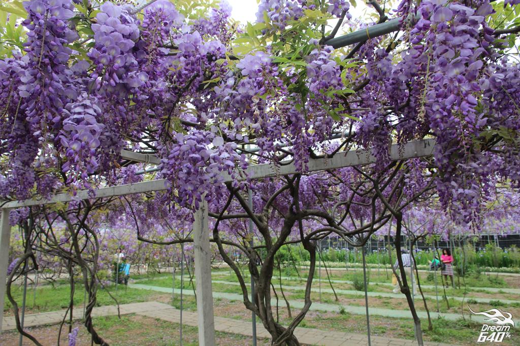 淡水紫藤咖啡園24