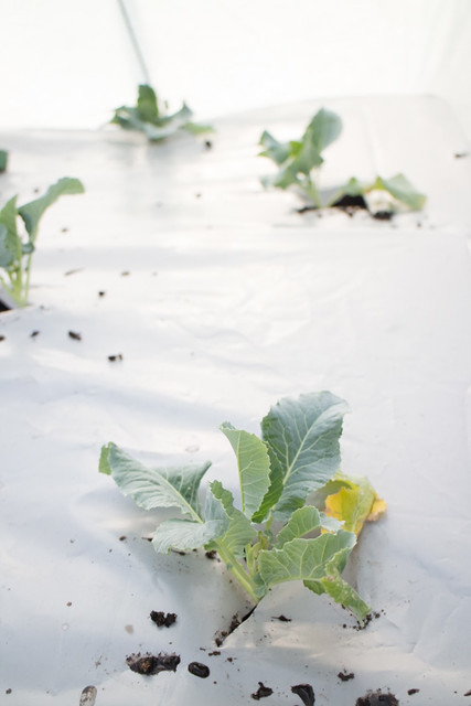 First Planting of the Year 2015 Broccoli_11