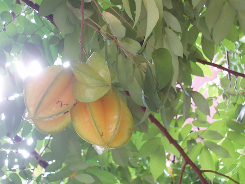 201111260273_star-fruit-tree