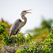 Great Blue Heron by jt893x