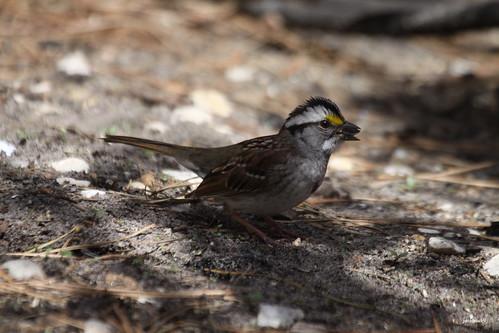 """""""White - throated Sparrow"""" """"Zonotrichia albicollis"""""""