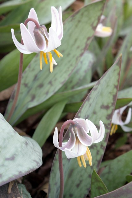 side view of two white trout lilies