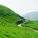 Brother Liu's Tea Fields by Max Falkowitz