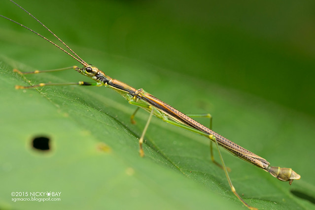 Stick insect (Phasmatodea) - DSC_3556