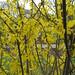 Forsythia suspensa var. sieboldii by wallygrom