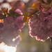 vancouver_cherryflare_rx1r_cine_srgb by alexcorll