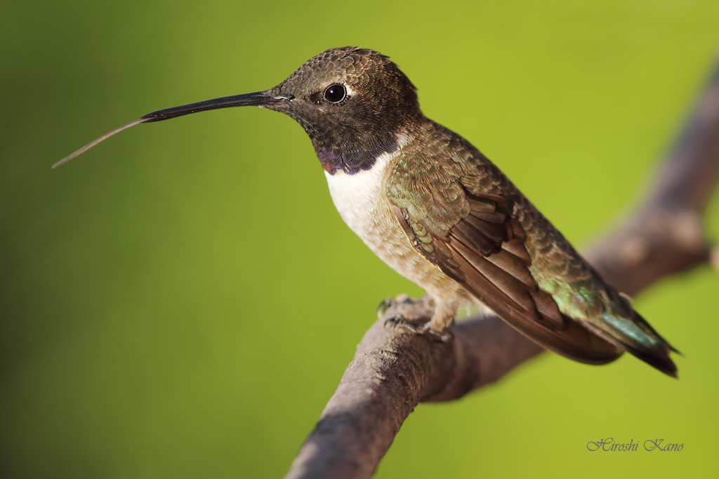Black-chinned Hummingbird 1804152