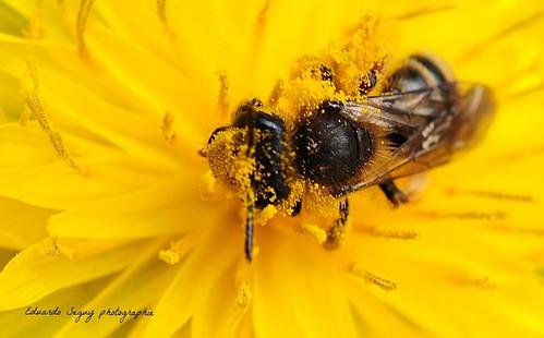 DSC_8116-1- Folle de pollen / Dent de lion- The bee, mad with pollen.
