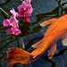 Orchids and Koi by kroess.photo.