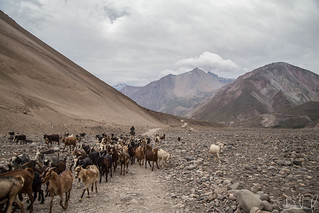 Herd of Goats in Andes, Chile