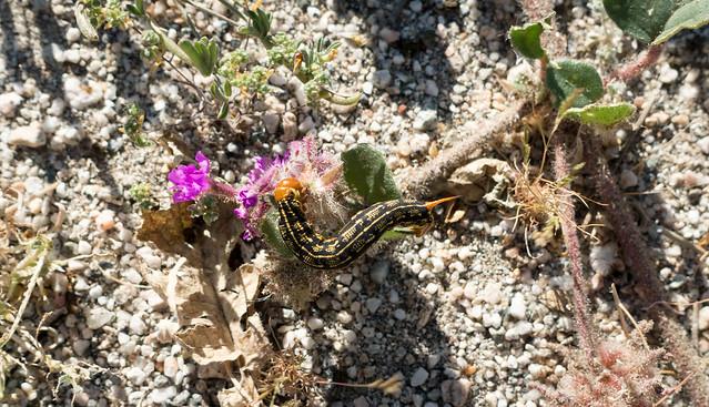 Caterpillar devouring sand verbena, m207