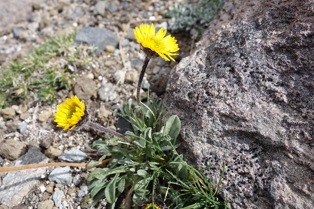 Header of Alpine Yellow Fleabane