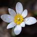 Bloodroot Blossom