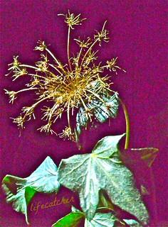 burst of ivy