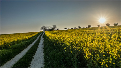 road sunset italy nature colors yellow del way landscape scenery strada italia raw tramonto valle natura potenza giallo fujifilm colori recanati marche paesaggio macerata coulors colza xm1 chiarino 150412