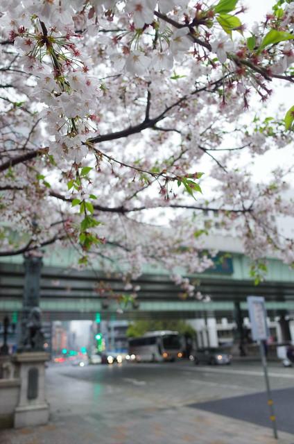 Sakura at Nihonbashi