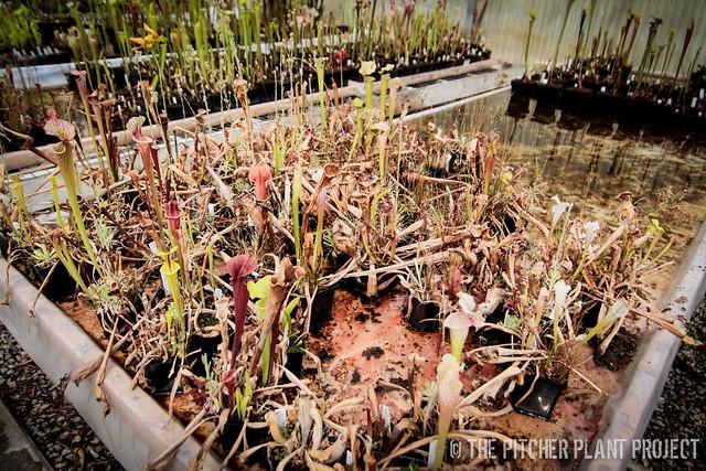 Sarracenia Seedlings