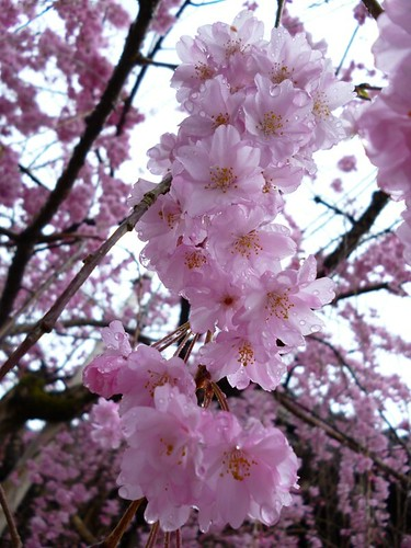 close up cherry blossom